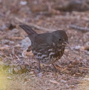 Fox Sparrow Sooty Pacific Coso Junction 2017 10 22-1.CR2