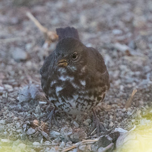 Fox Sparrow Sooty Pacific Coso Junction 2017 10 22-3.CR2