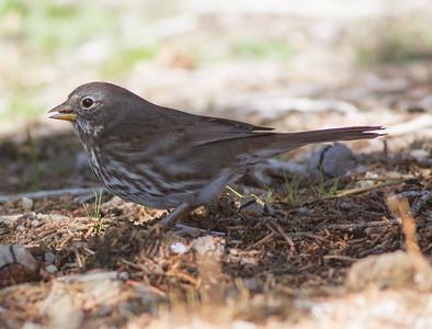 Fox Sparrow Coso Junction  2014 10 19 (201411 of 2).CR2