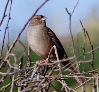 Golden-crowned Sparrow San Diego County 2009 12 03 -1.CR2-2.CR2
