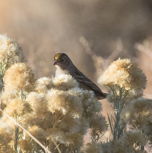 Golden-crowned Sparrow  Lee Vining 2020 10 18-5.CR2