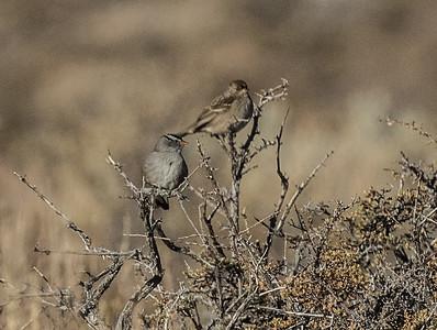Golden-crowned Sparrow  Lee Vining 2020 10 18.CR2