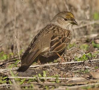 Golden-crowned Sparrow  Escondido 2015 01 05-6.CR2
