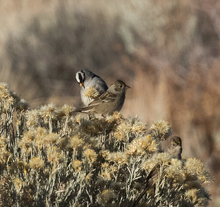 Golden-crowned Sparrow White-crowned Sparrow  Lee Vining 2020 10 31.CR2