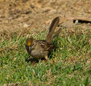 Golden-crowned Sparrow Encinitas 2014 11 30-2.CR2