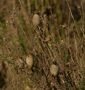 Golden-crowned Sparrow Mt Israel 2015 01 02-1.CR2