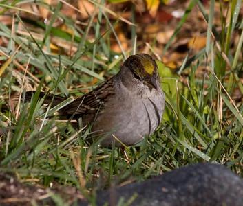 Golden-crowned Sparrow  Bridgport 2012 10 26 (2 of 2).CR2