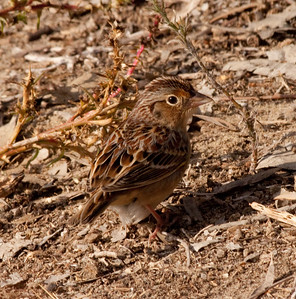 Grasshopper Sparrow Aviara 2009 11 20-08.CR2