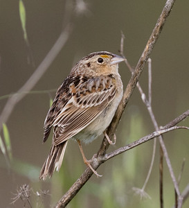 Grasshopper Sparrow Penesquitos Canyon 2019 04 06-1.CR2