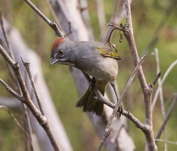 Green-tailed Towhee Carlsbad 2018 10 04-1.CR2