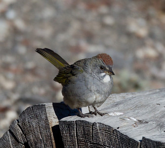 Green-tailed  Towhee   Mammoth Lakes 2013 09 14 (1 of 2).CR2