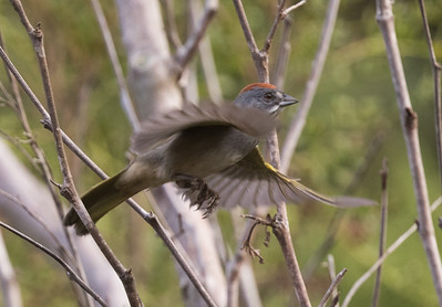 Green-tailed Towhee Carlsbad 2018 10 04-2.CR2