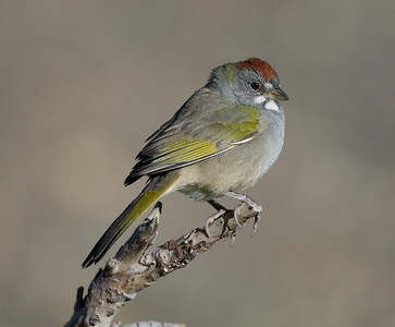 Green-tailed Towhee  Mammoth Lakes 2014-08-19 (1 of 2).CR2 (2 of 2).CR2