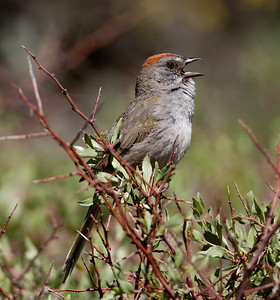 Green-Tailed Towhee Mcgee Canyon Ca 2010 06 24-2.CR2