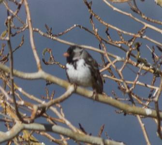 Harris Sparrow   Bridgeport 2013 04 26 (2 of 5).CR2