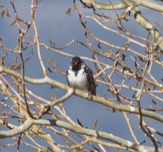 Harris Sparrow   Bridgeport 2013 04 26 (3 of 5).CR2