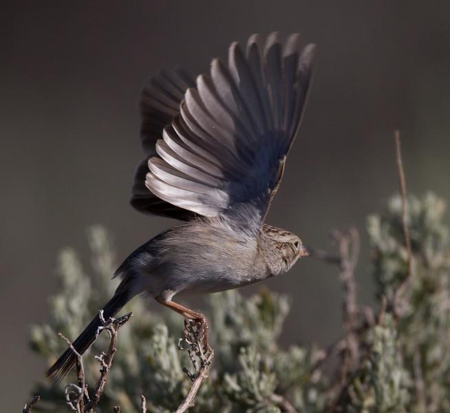 Brewer`s Sparrow Indian Hills Wetlands 2015 05 29-2.CR2