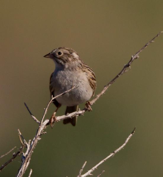 Lark Sparrow Indian Hills Wetlands 2015 05 29-3.CR2-2.CR2