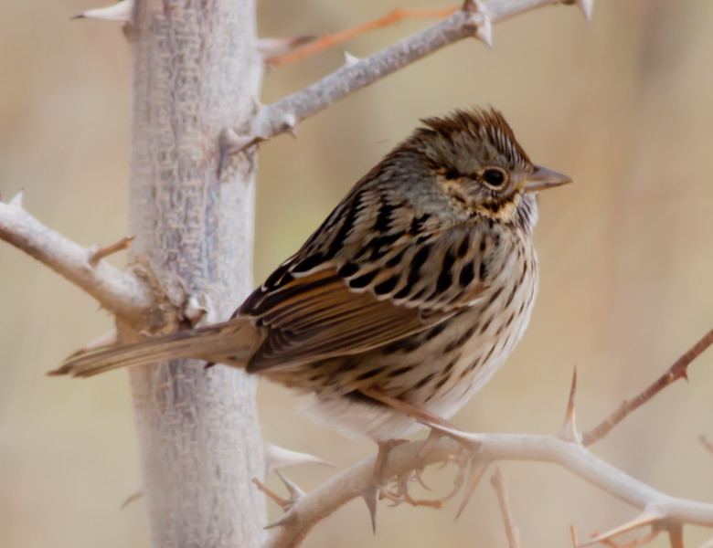Lincoln Sparrow Bishop 2010 12 17-1.CR2