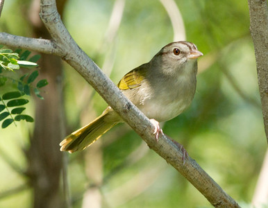 Olive Sparrow  South Texas 2012 03 23-4.CR2