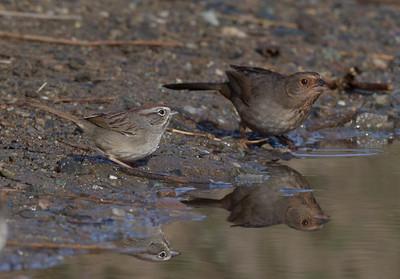 Rufous-crowned Sparrow California Tohee  Camp Pendleton 2017 12 31-2.CR2