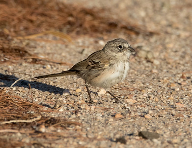 Bell`s Sparrow Crammer Junction Solar Ponds 2016 07 17 -1.CR2