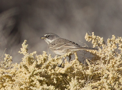 Sagebrush Sparrow Borrego Springs  2015 11 14-1.CR2-1.CR2