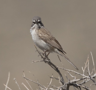 Sagebrush Sparrow Wifred  Canyon 2019 05 03-1.CR2