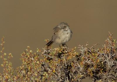 Sagebrush Sparrow  Grant Lake 2012 07 28 (1 of 3).CR2-1.CR2