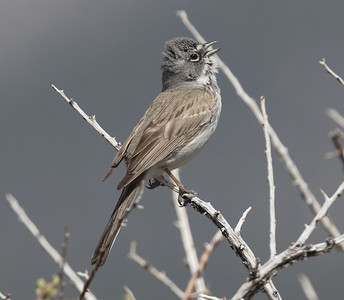 Sagebrush Sparrow Wifred  Canyon 2019 05 03-4.CR2