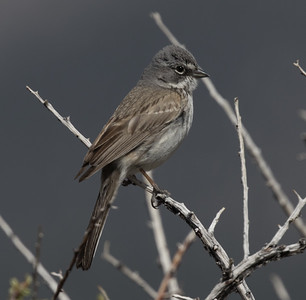 Sagebrush Sparrow Wifred  Canyon 2019 05 03-2.CR2