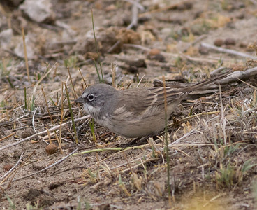 Sagebrush Sparrow Crowley Lake 2015 09 15-1.CR2