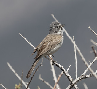 Sagebrush Sparrow Wifred  Canyon 2019 05 03-3.CR2