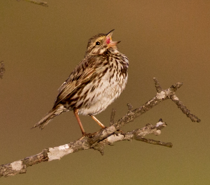 Belding`s  Savannah Sparrow San Elijo Lagoon 2011 06 06-3.CR2