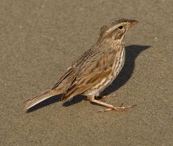Large-billed Savannah Sparrow Camp Pendleton 2015 01 10-1.CR2-3.CR2-4.CR2