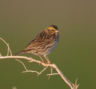 Savannah Sparrow Pearsonville 2014 04 21-2.CR2