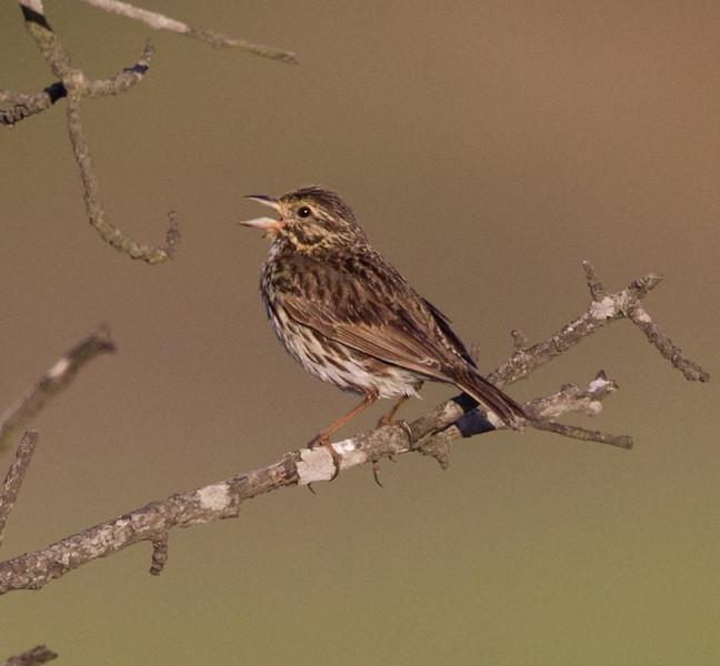 Belding`s  Savannah Sparrow San Elijo Lagoon 2011 06 06-2.CR2