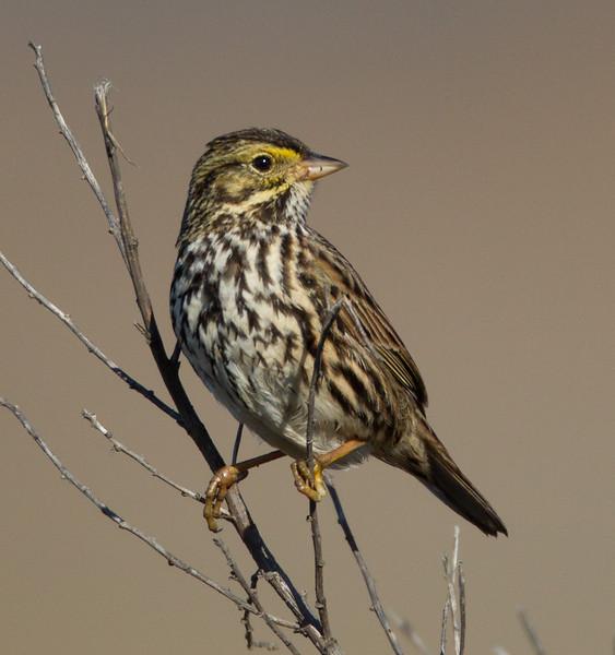 Belding`s Savannah Sparrow   San Elijo Lagoon 2014 01 02-1.CR2
