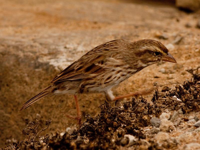 Savannah Sparrow  Camp Pendleton 2009 09 18.CR2