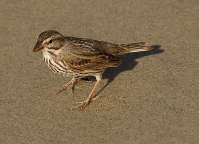 Large-billed Savannah Sparrow Camp Pendleton 2015 01 10-1.CR2-3.CR2-3.CR2