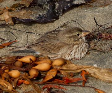 Large-billed Savannah Sparrow Camp Pendleton 2015 01 10-1.CR2-3.CR2-1.CR2
