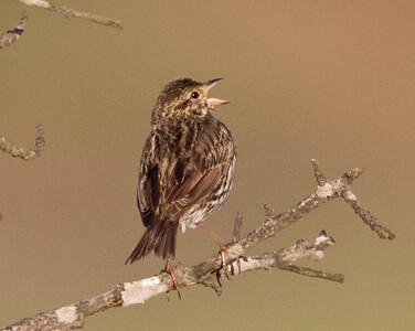 Belding`s Savannah Sparrow San Elijo Lagoon 2011 06 06-1.CR2