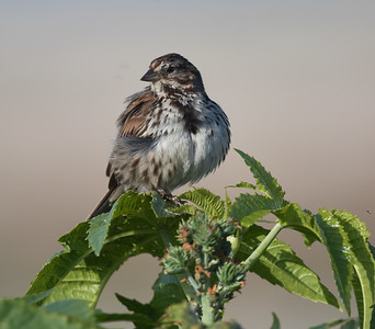 Song Sparrow San Dieguito Lagoon 2020 05 15-1.CR2