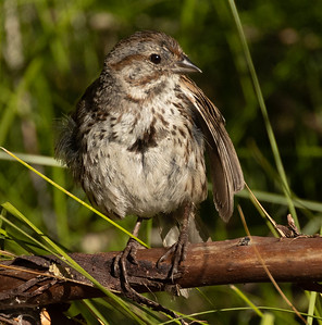 Song Sparrow Mammoth Lakes 2021 08 02-1.CR3