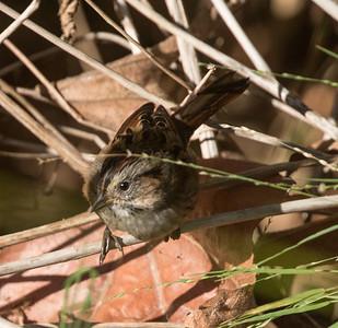 Swamp Sparrow Encinitas 2017 10 15-5.CR2