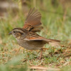 Swamp Sparrow  Aviara 2014 02 22-4.CR2