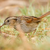 Swamp Sparrow  Aviara 2014 02 22-5.CR2