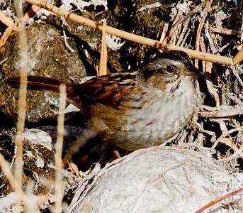 Swamp Sparrow Bishop  2012 12 18 (6 of 7).CR2