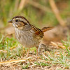 Swamp Sparrow  Aviara 2014 02 22-3.CR2