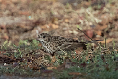 Vesper Sparrow Tijuana River Valley San Diego 2018 12 8-1.CR2